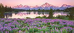 Grand Teton National Park, WY <br /> Teton Range, pond reflections and lupine meadow at dawn