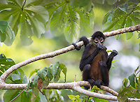 Geoffroy's spider monkeys boast a long prehensile tail that acts as a fourth arm or leg.