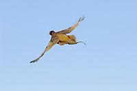 Ring-necked Pheasant (Phasianus colchicus) in flight. Western U.S.