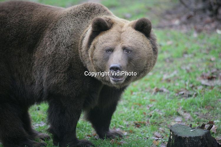 Foto: VidiPhoto..RHENEN - De winter is begonnen, maar de helft van de bruine beren in het Berenbos in Ouwehands Dierenpark, is al weer wakker of vertikt het om te gaan slapen. Dat komt door de relatief hogere temperaturen op dit moment. Normaal gesproken behoren de beren al in een diepe slaap van enkele weken of maanden te zijn.