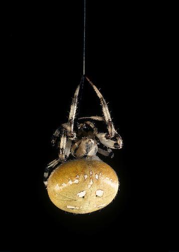 Common Cross Spider - Araneus quadratus