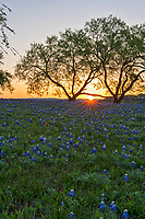 We capture this vertical sunrise over a field of bluebonnets through the mesquite tree. You can see the sunset is just coming up over the horizon through the two mesquite trees. This was a nice field of wildflowers. The Texas bluebonnet or lupine was declare a state flower in 1971 by the Texas legislature. Also Lady Bird Johnson help in her push to create the Highway beautification Act which is how wildflowers in Texas took root. We can thank Lady Bird for these beautiful spring wildflowers that are across our highways and park and where ever they may be.