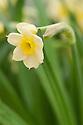 Dwarf Tazetta daffodil (Narcissus 'Minnow').