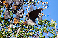 Grey-Headed Flying Fox in flight, Botanical Gardens, Sydney, Australia