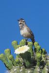 Cactus Wren (Campylorhynchus brunneicapillu) adult singing atop a flowering Saguaro Cactus, Arizona, USA.