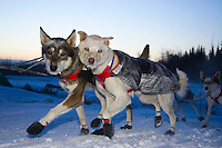 Clint Warnke's dogs run up the river bank at the Nikolai checkpoint on Wednesday morning at -35 temperatures