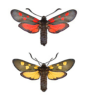 Five-spot Burnet - Zygaena trifolii<br /> top= normal form<br /> bottom = unusual yellow form<br /> 54.010 BF170