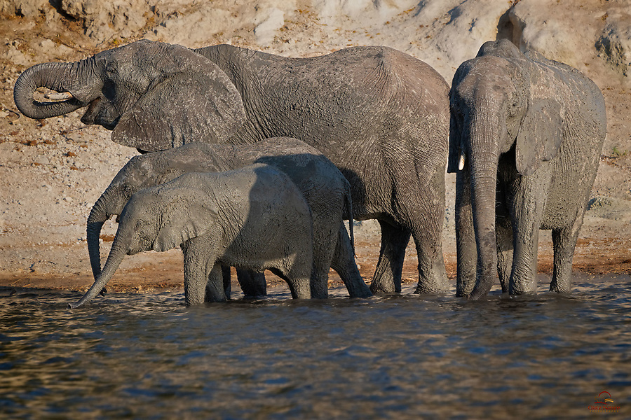 Apply mud bath to protect sensitive skin against the sun and insect pests - check. Make your way to the Chobe River to slake your thirst (Elephants drink up to 50 gallons of water a day) - check. Elephant (Loxodonta africana) family - what looks like four generations - sticks together to fight the heat.