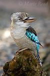 Kookaburras, Kingfishers, Bee-eater: Australia