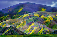 Hillside with yellow and purple wildflowers, Carrizo Plain National Monument, California