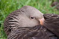 Grau-Gans, Portrait, Grau-Gans, Grau - Gans, Anser anser, Greylag Goose, graylag goose, grey lag goose, Oie cendrée