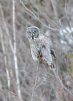 Great grey owl on twig