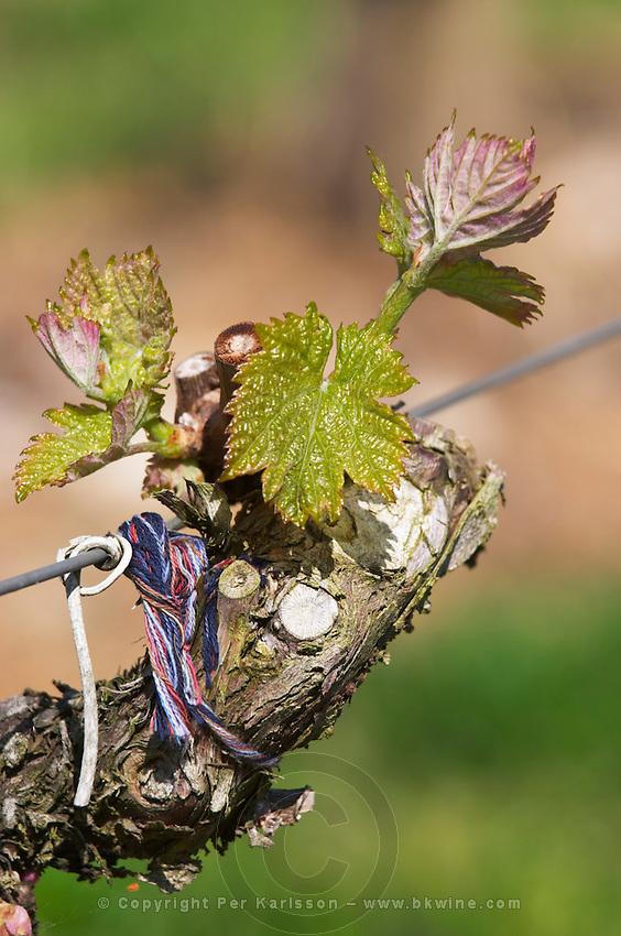 bud burst on the vine chateau phelan segur st estephe medoc bordeaux france