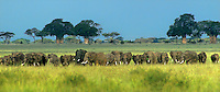 628509006p a wild very large herd of african elephants loxodonta africana graze on veldt grasses with baobob trees in the background in tarangiere national park in tanzania