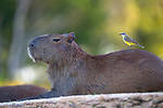 Pictured:  A brave little bird swoops in to land on the snout of an unsuspecting capybara.<br /> <br /> The 'Brazilian cleaner bird' then examines the giant rodent's fur for ticks, which it feeds on.<br /> <br /> It makes for a mutually beneficial relationship between the capybara and the bird - also known as a cattle tyrant - as it rids the 4ft-long mammal of the insects.<br /> <br /> Wildlife photographer Jackie Badenhorst caught the moment by a river in the Pantanal in Brazil, which is the world's largest tropical wetland area.  SEE OUR COPY FOR FULL DETAILS.<br /> <br /> Please byline: Jackie Badenhorst/Solent News<br /> <br /> ©  Jackie Badenhorst/Solent News & Photo Agency<br /> UK +44 (0) 2380 458800