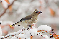 Cedar Waxwing, Bombycilla cedrorum, young on hawthorn with snow eating berry fallcolors, Grand Teton NP,Wyoming, USA