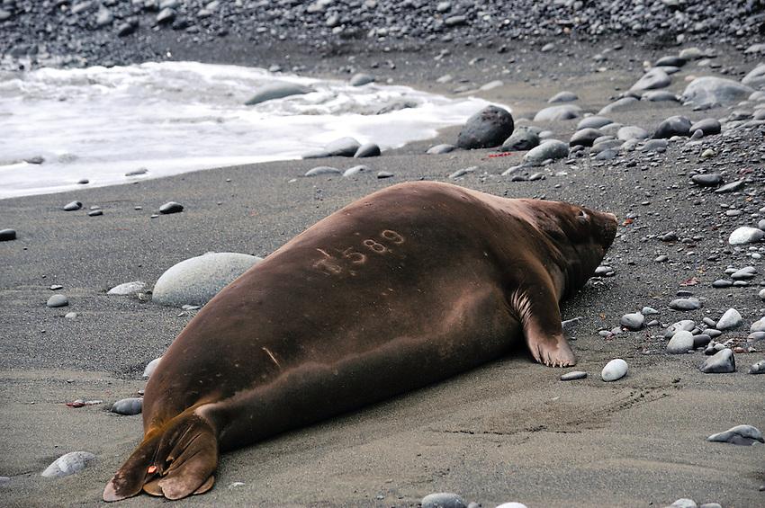 Branded Elephant seal - Macquarie Island