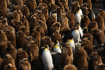 Adult King Penguins walking through their colony's rookery on Salisbury Plain, South Georgia.