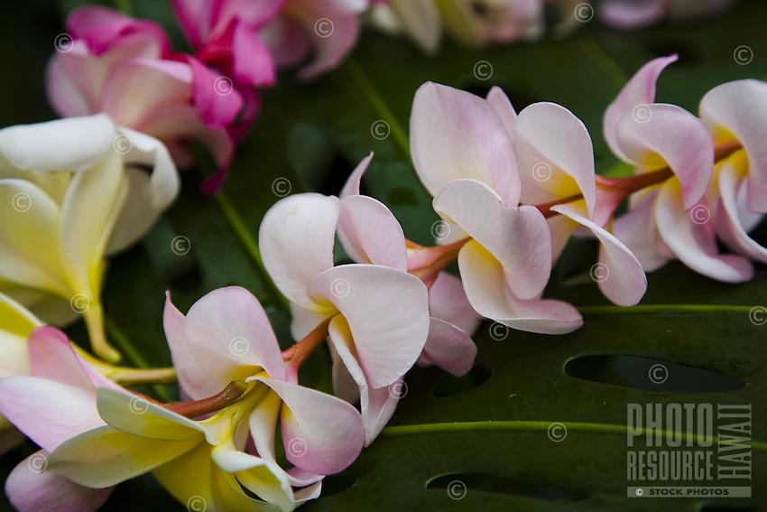 Tropical Hawaiian plumeria flower lei