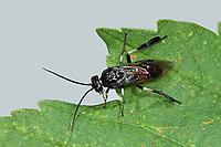 Breitfüssige Birkenblattwespe, Breitfüßige Birkenblattwespe, Birken-Blattwespe, Craesus septentrionalis, Croesus septentrionalis, flat-legged tenthred, birch sawfly, la tenthrède du bouleau