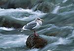 Glaucous Gull, Canada