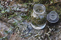 Beifuss-Tinktur, Beifuß wird in Alkohol ausgezogen, alkoholischer Auszug, Tinktur, Tinkturen. Gewöhnlicher Beifuß, Beifuss, Artemisia vulgaris, Mugwort, common wormwood, tincture, paint, L'Armoise commune, Armoise citronnelle
