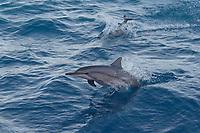 Hawaiian or Grays Spinner Dolphins, Stenella longirostris, porpoising, Maldives, Indian Ocean