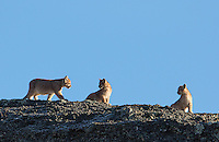 Puma cubs wait to reunite with their mother in southern Chile.