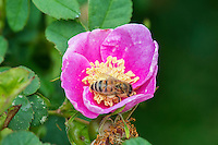 Honeybee pollinating Wild Rose or Nootka Rose (Rosa nutkana).  Common wildflower of Pacific Northwest.  May-June.