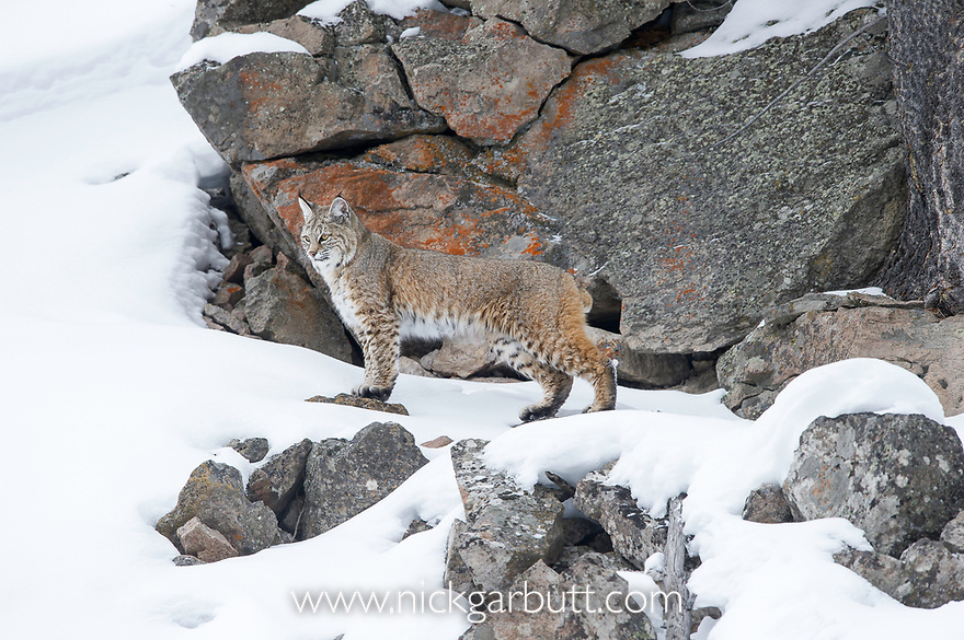 North American Bobcat (Lynx rufus). Madison River Valley, Yellowstone National Park, Wyoming, USA. January