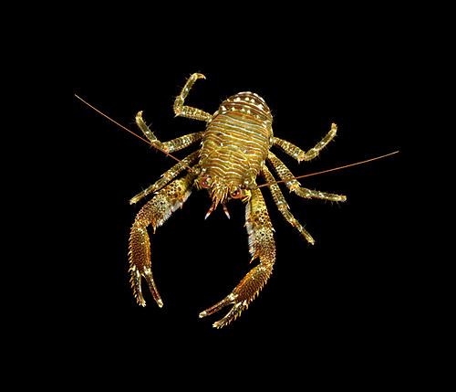 Common Squat Lobster - Galathea squamifera