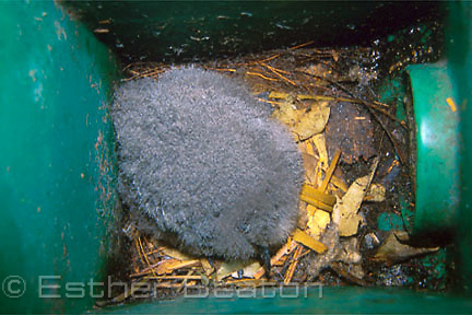 Gould's Petrel (Pterodroma leucoptera) chick in specially made nesting box. Cabbage Tree Island, NSW.