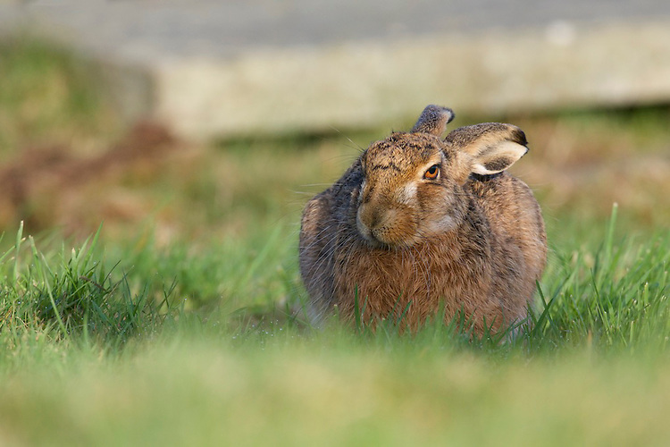 A Brown hare (Lepus europaeus) in a cemetery, UK