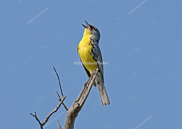 A male Kirtland's Warbler singing, June 2005, near Mio (Michigan)