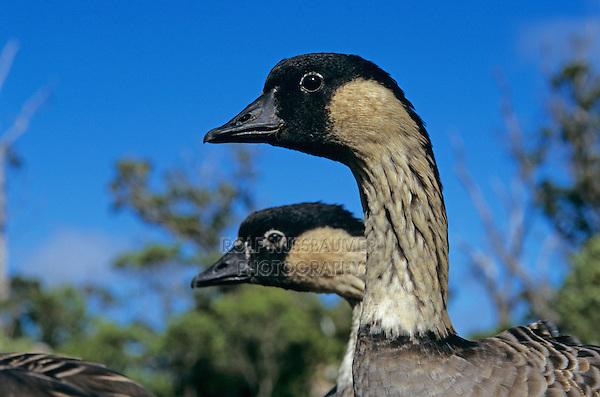 Nene, Hawaiian Goose, Branta Sandvicensis, adults, Kauai, Hawaii, USA