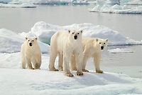 polar bear, Ursus maritimus, mother with two cubs, on ice floe, Wager Bay, Hudson Bay, Nunavut, Canada, Arctic Ocean