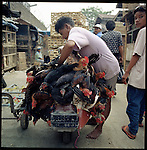 Jakarta, Indonesia. August, 2000. Chickens are secured to a motorbike in the back alleys of Jati Negara. Most likely the chickens will end up as soup.