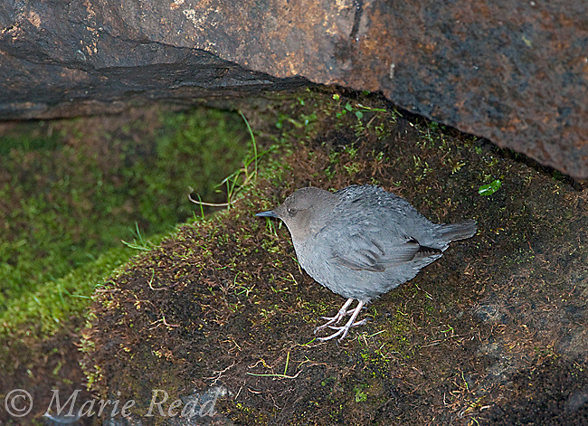 American Dipper (Cinclus mexicanus), perched near  its nest site on a moss-covered rock, Mono Lake Basin, California, USA