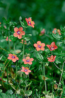 SCARLET PIMPERNEL Anagallis arvensis arvensis (Primulaceae) Creeping. Low-growing, hairless annual of cultivated and disturbed ground. FLOWERS are 10-15mm across with 5 scarlet or pinkish orange (sometimes blue) petals fringed with hairs; flowers open wide only in bright sunshine and are borne on slender stalks (Jun-Aug). FRUITS are capsules. LEAVES are oval and usually in pairs. STATUS-Widespread and generally common throughout the region, except in Scotland.