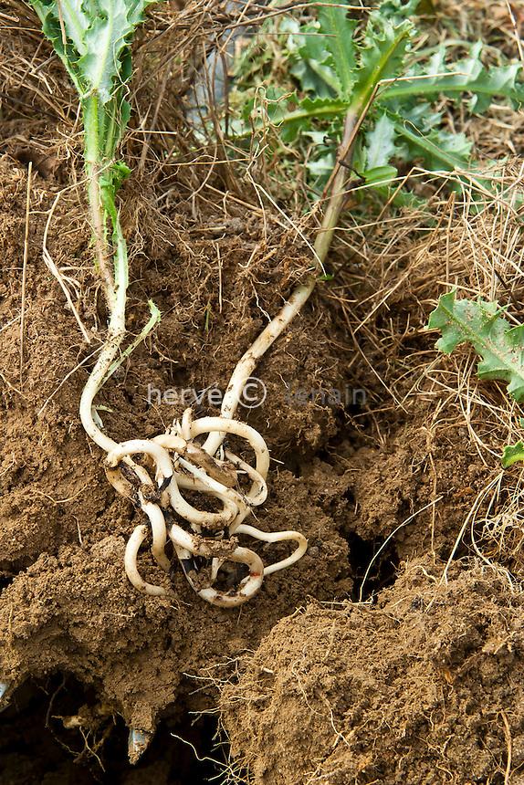 chardon des champs ou cirse des champs, Cirsium arvense, tige souterraine & racines // Creeping Thistle, Cirsium arvense, roots