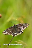 03391-00105 Baltimore Checkerspot (Euphydryas phaeton) in fen Reynolds Co., MO