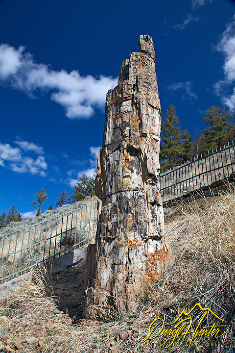 Petrified Redwood Tree, Yellowstone National Park