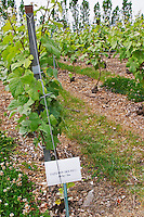 Experiment with growing sowing grass and weed between the vine rows (paturin des pres) at the experimental vineyard of the CIVC at Plumecoq near Chouilly in the Cote des Blancs It is used for testing clones soil treatment vine treatments spraying, Champagne, Marne, Ardennes, France