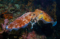 Mating pharaoh cuttlefish ( Sepia pharaonis ) at Richelieu Rock, Andaman Sea, Surin National Park, Thailand