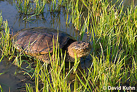 0611-0914  Snapping Turtle Exploring Pond Edge, Chelydra serpentina  © David Kuhn/Dwight Kuhn Photography