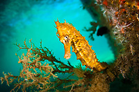 Lined Sea Horse, Hippocampus erectus, hides underneath a pier in the Lake Worth Lagoon, Palm Beach County, Florida, Atlantic