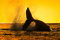 humpback whale, Megaptera novaeangliae, tail breach or peduncle throw at sunset, silhouette of fluke, Hawaii, USA, Pacific Ocean