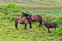 Small, medium and large, Irish horses and donkey in County Clare, West of Ireland