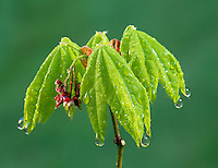Early spring growth on vine maple (Acer circinatum) after rain. Near Alpine, Oregon