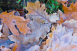 Red Oak Leaves, Quercus rubra, autumn